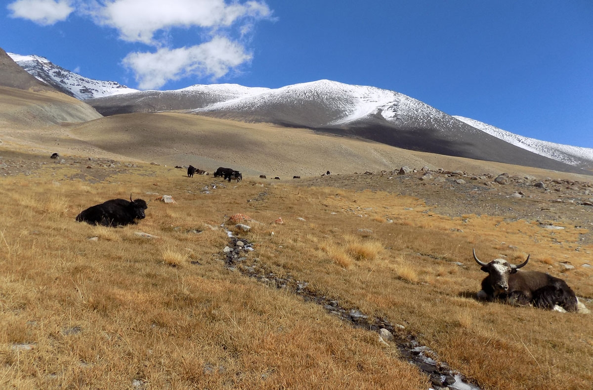 Yaks grazing in Wakhan; eventually they will be bartered for good and food.