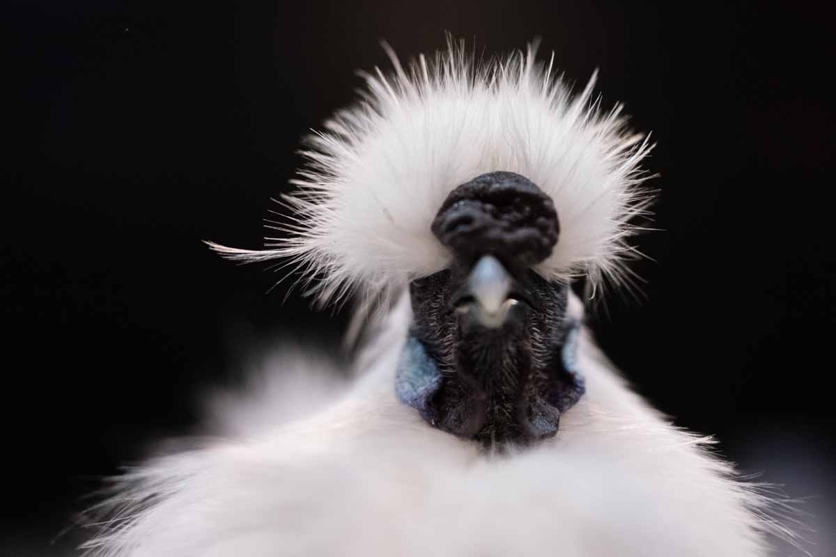 A Silkie Bantam White Cockerel is pictured on display at the 45th National Championship Poultry Show, hosted by 'The Poultry Club of Great Britain' and held at The International Centre in Telford, Shropshire on December 2, 2017. / AFP PHOTO / OLI SCARFF