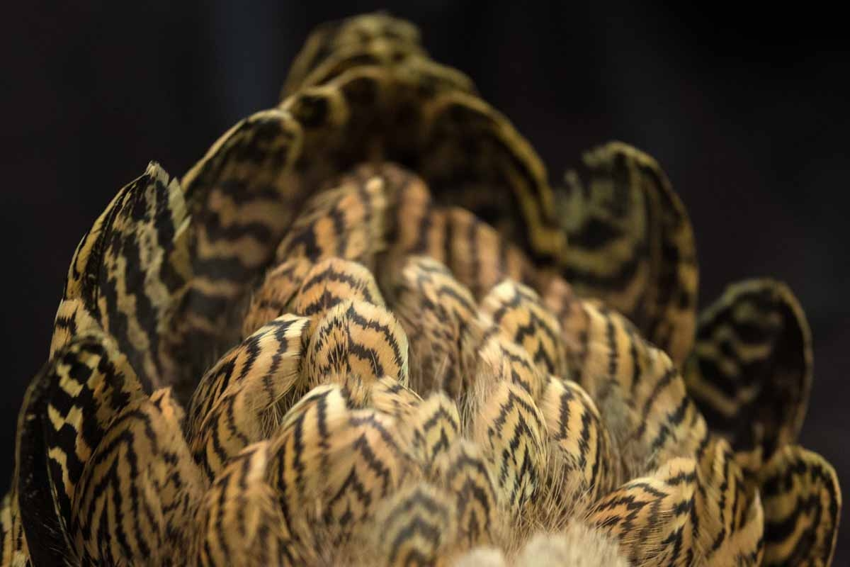 The plumage of a Pencilled Wyandotte Bantam Partridge Hen.