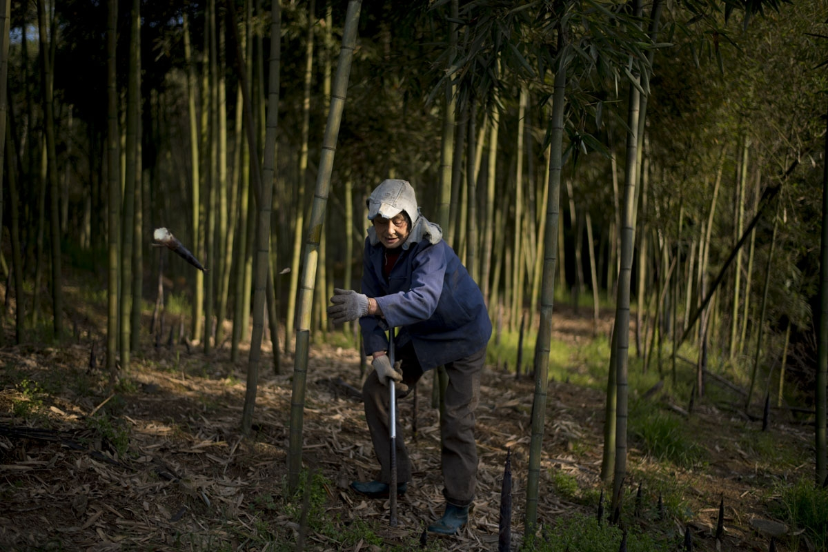 This picture taken on April 13, 2017 shows a woman harvesting bamboo in Shimen village near the city of Lin'an, Zhejiang Province
