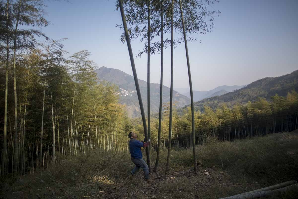 This picture taken on April 12, 2017 shows a man cutting bamboo in a forest near Dashan village near the city of Lin'an, Zhejiang Province.