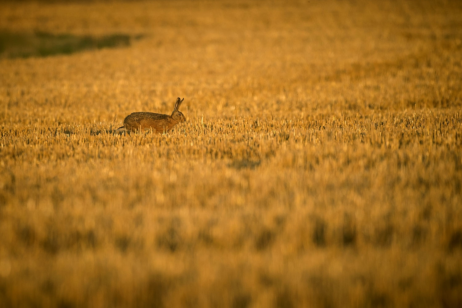A hare runs in a field on July 4, 2017 near Monthodon, central France.