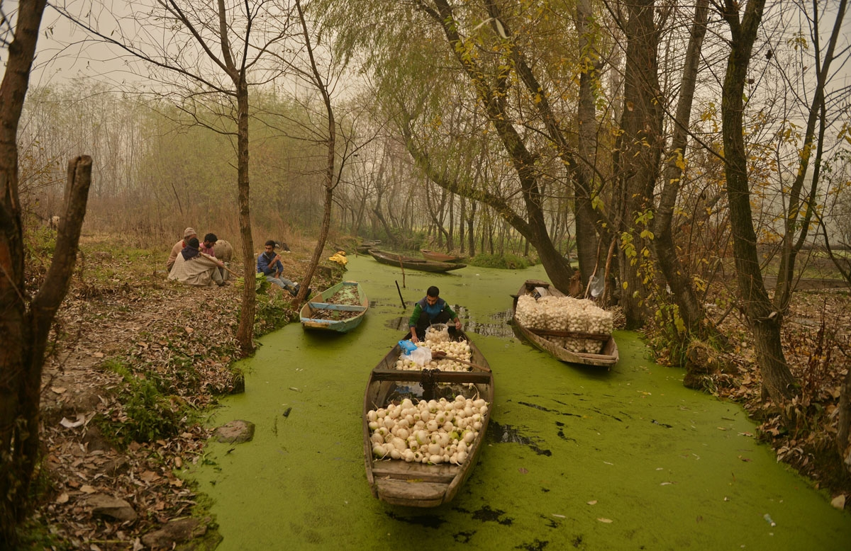 Farmers is out on a lake in Srinagar on November 22,2016.