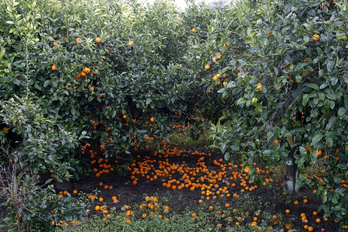 Tangerines fall on the ground as nobody harvest them in tangerine fields in Rosarno on January 10, 2010 a day after more than 900 immigrants fled the town after residents violently attacked African farm workers.