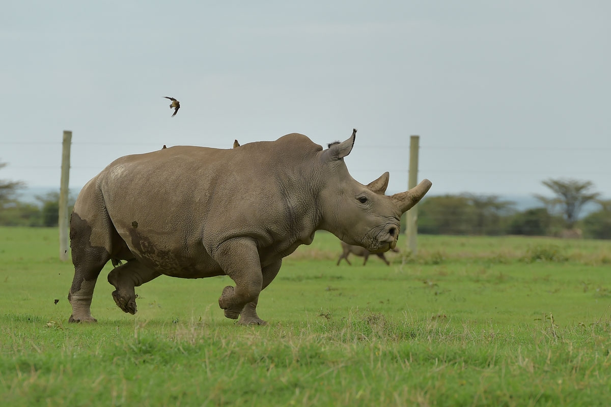 Fatu, one of the only two remaining female northern white rhino, runs in her paddock on March 20, 2018 at the ol-Pejeta conservancy in Nanyuki, north of capital Nairobi.