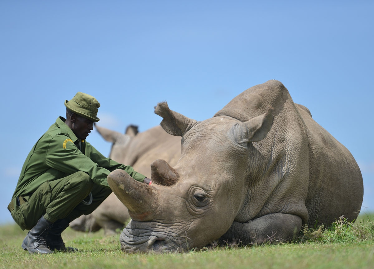 Care giver Peter crouches next to Najin, the older of only two remaining female northern white rhinoceros subspecies, on December 5, 2016, at the Ol Pejeta conservancy in Laikipia County -- at the foot of Mount Kenya -- that is home to the planet's last-t