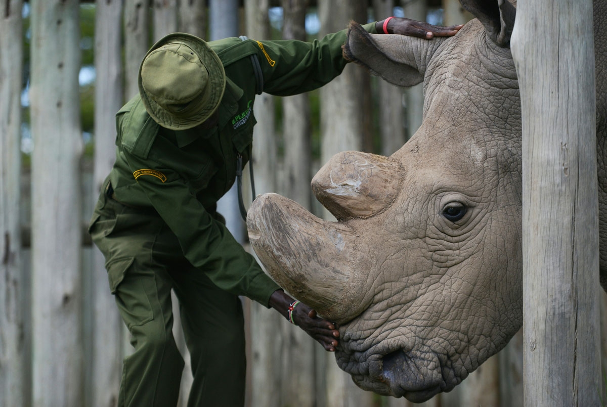 O GO WITH AFP STORY BY NICOLAS DELAUNAY A caregiver calms Sudan, the last known male of the northern white rhinoceros subspecies, on December 5, 2016, at the Ol Pejeta conservancy in Laikipia County -- at the foot of Mount Kenya -- that is home to the pla