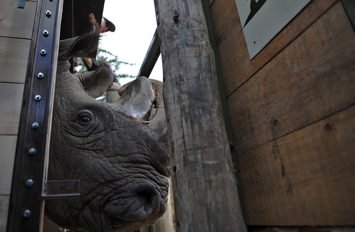Sudan, one of four extremely endangered Northern White rhinoceros shipped to Kenya on December 20, 2009, emerges from his crate after arriving at the Ol Pejeta reserve near the central Kenyan town of Nanyuki, some 350 kms north of the capital Nairobi.