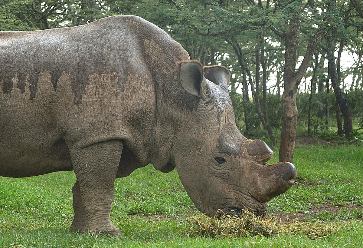 The only remaining male northern-white Rhino on the planet, 'sudan' is seen on May 23, 2015 at the ol-Pejeta sanctuary in Kenya's Mt. Kenya region (approximately 250 kilometres) north of the capital, Nairobi. Sudan and his two-female companions, Suin and