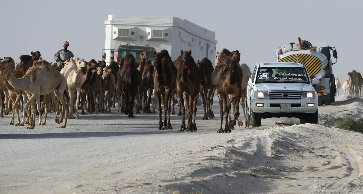 Qatari men herd camels in a desert area on the Qatari side of the Abu Samrah border crossing between Saudi Arabia and Qatar on June 21, 2017. Around 12,000 camels and sheep have become the latest victims of the Gulf diplomatic crisis, being forced to trek