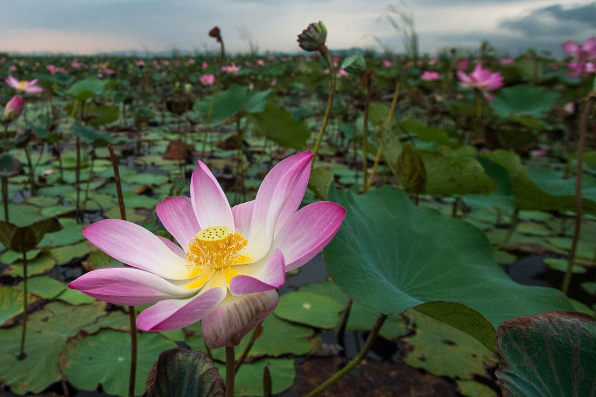 In this photograph taken on May 5, 2017, lotus flowers blossom in the Khao Sam Roi Yot national park in southern Thailand.