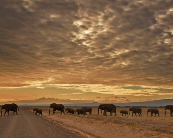A herd of elephants walk in Amboseli National Park on November 3, 2016.  / AFP PHOTO / CARL DE SOUZA