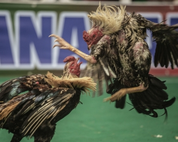 This file photo taken on December 3, 2016 shows cocks fighting during a cock fighting tournament on the outskirts of Antananarivo. Cockfighting is held during the week end and is a tradition with asian roots still practiced in Madagascar.
