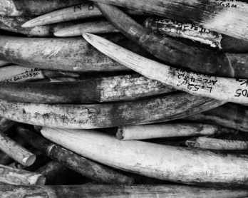 Des défenses d'éléphant confisquéesà des braconniers dans le parc de la Garamba, en République démocratique du Congo