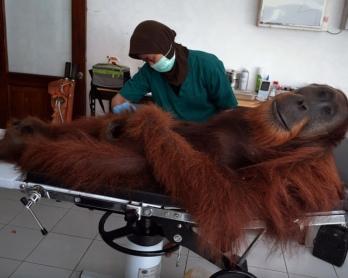 Angelo, un orang-outan de 14 ans blessé par des plombs de chasse, est examiné par un vétérinaire dans un centre de conservation de Sibolangit, à Sumatra, le 16 avril 2014