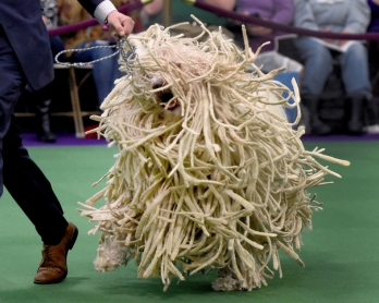 Un komondor au Westminster Dog Show 2016 à New York (AFP / Timothy A. Clary)